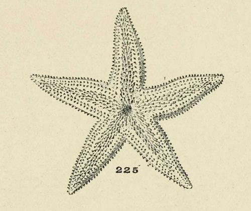 echinodermes.jpg