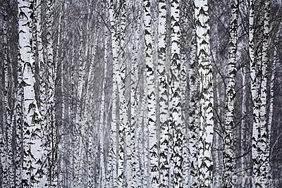 bois-de-bouleau-en-hiver-russie-thumb3389207.jpg